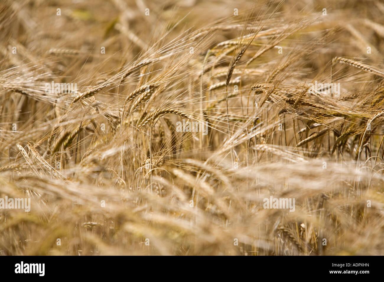Vista cercana de la cebada madura Imagen De Stock