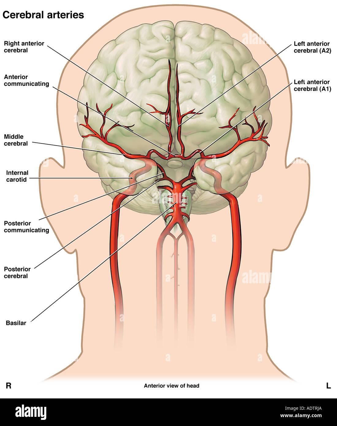 Magnífico Vasculatura Cerebral Anatomía Bosquejo - Imágenes de ...