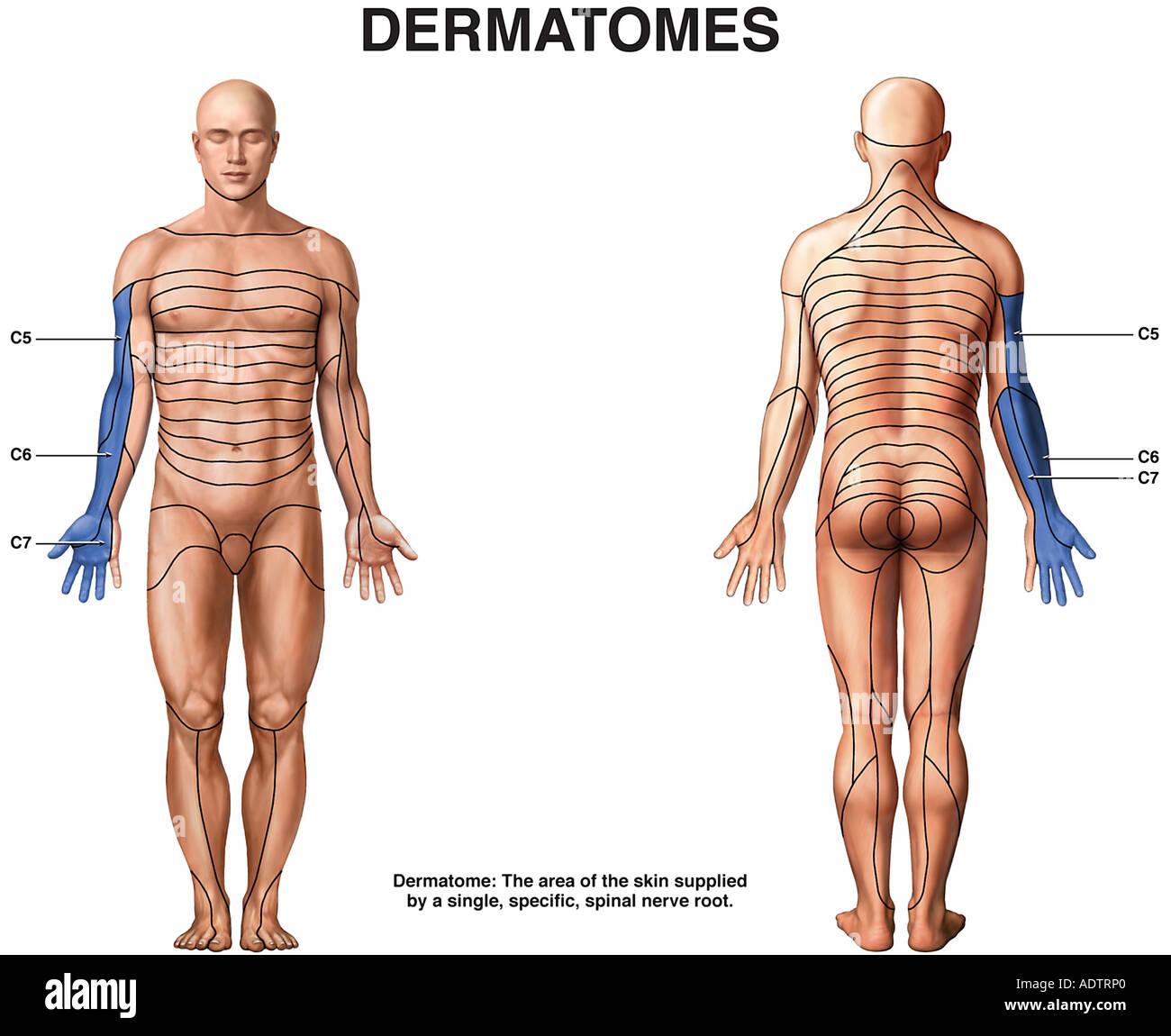 Dermatomas Foto & Imagen De Stock: 7710111 - Alamy