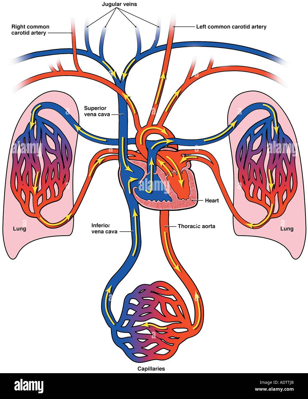 Diagrama de flujo sanguíneo al corazón, los pulmones y el cuerpo ...