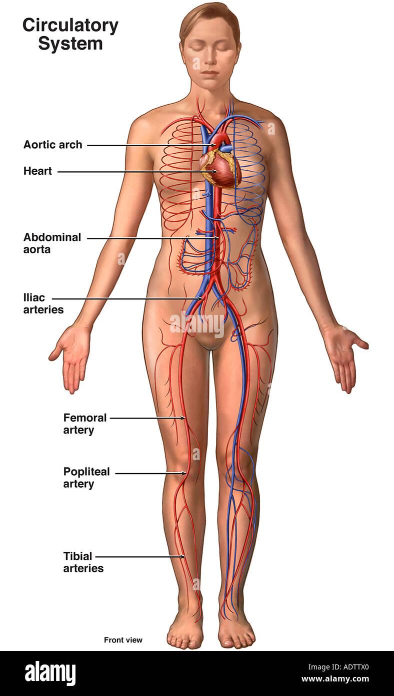 Anatomía del sistema circulatorio - Hembra Foto & Imagen De Stock ...
