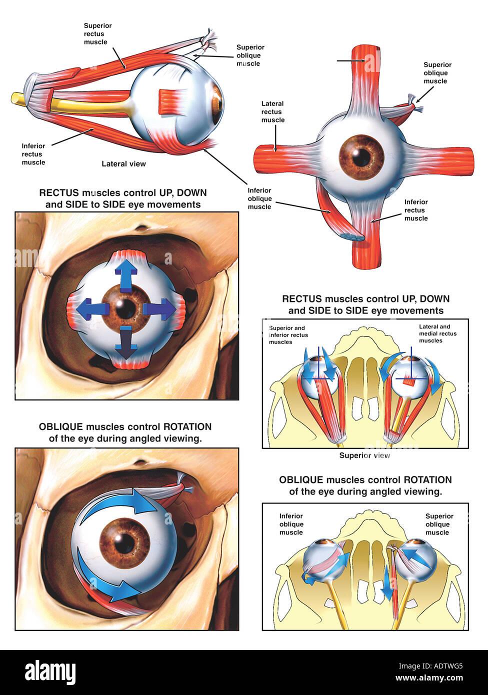 Anatomía y Función de los músculos del ojo Foto & Imagen De Stock ...