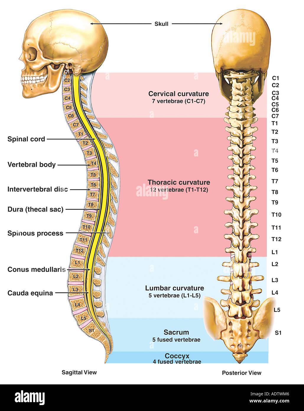 Anatomía de la columna vertebral (columna vertebral Foto & Imagen De ...