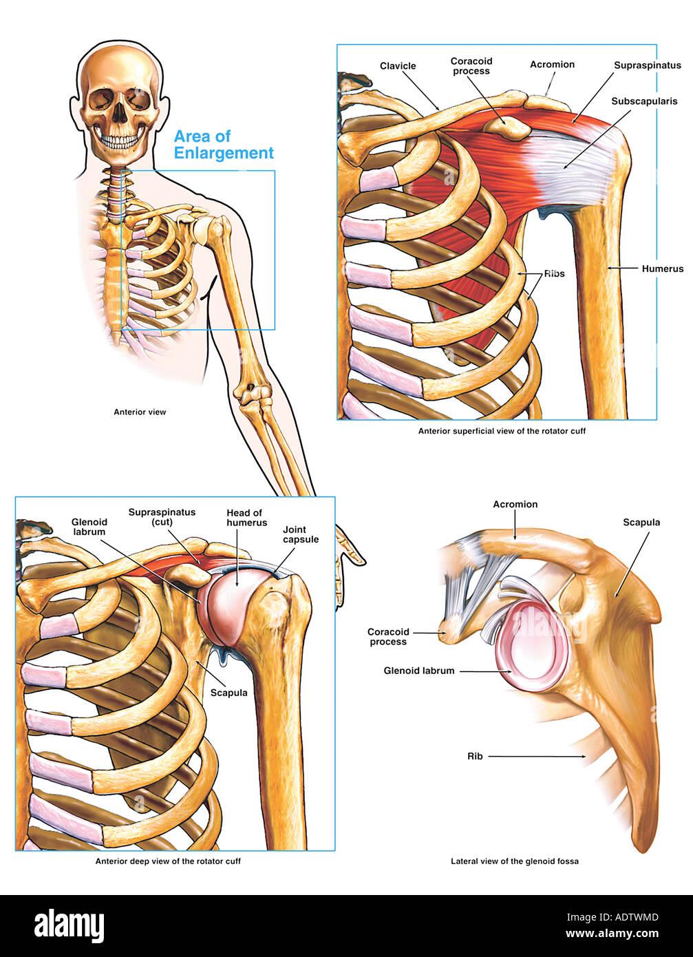 Anatomía de la articulación del hombro y el manguito rotador Foto ...