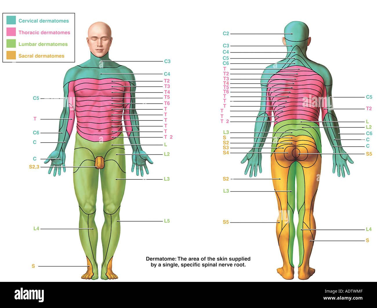 Los dermatomas Foto & Imagen De Stock: 7710478 - Alamy