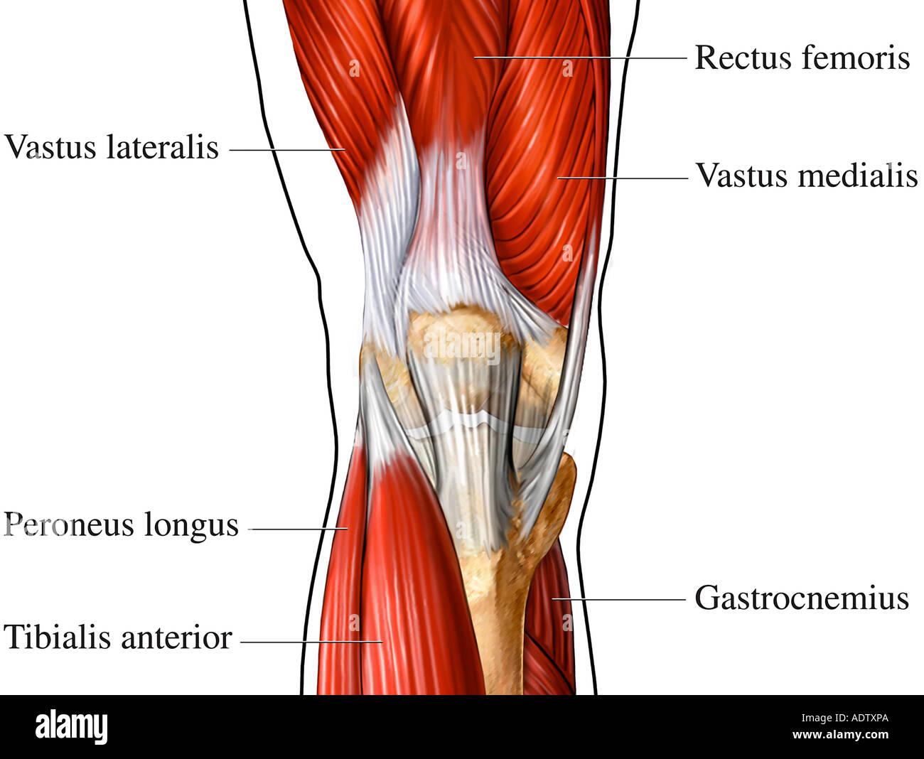 Los músculos de la parte anterior de la rodilla Foto & Imagen De ...