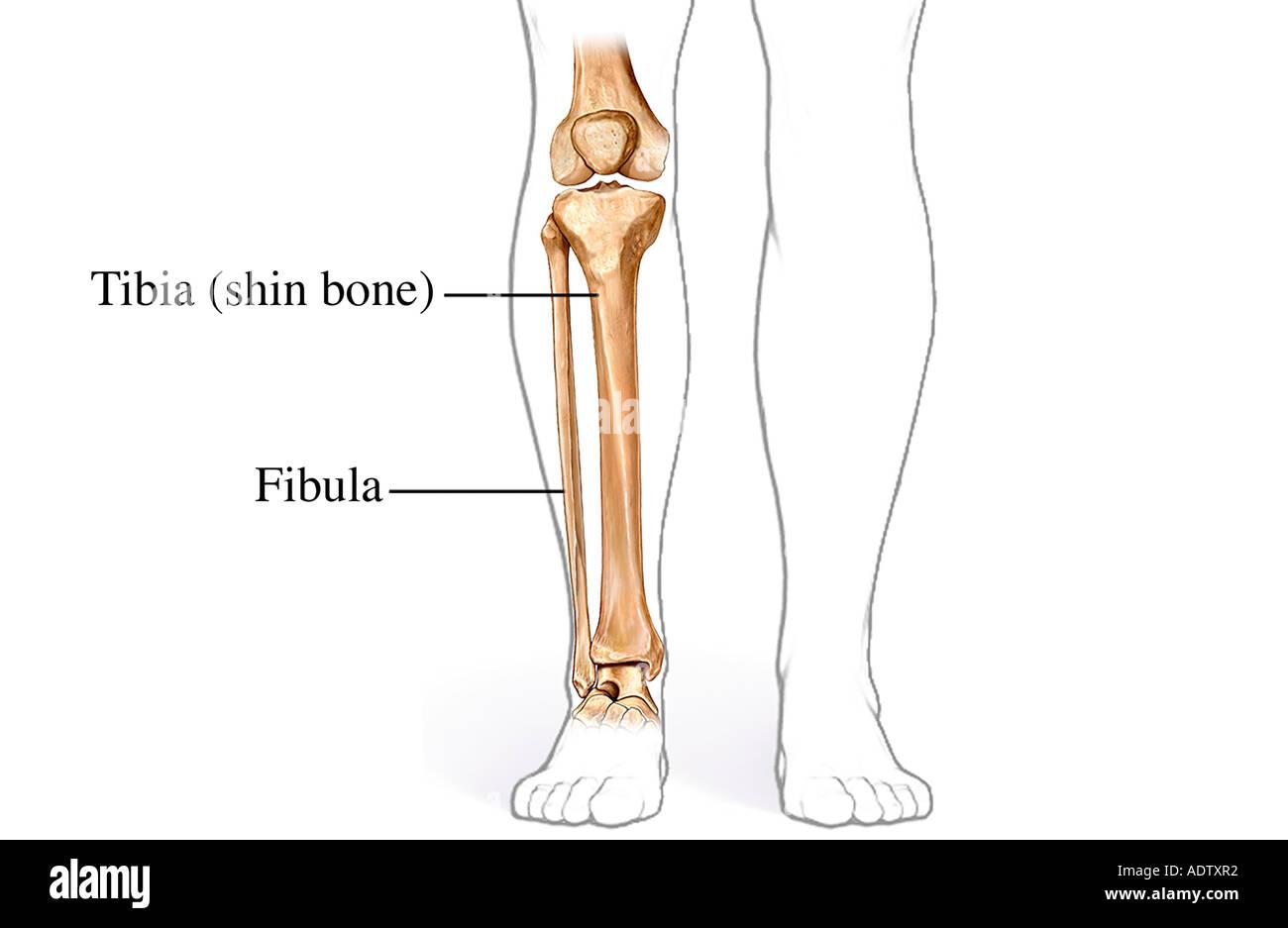 Los huesos de la pierna inferior Foto & Imagen De Stock: 7710705 - Alamy