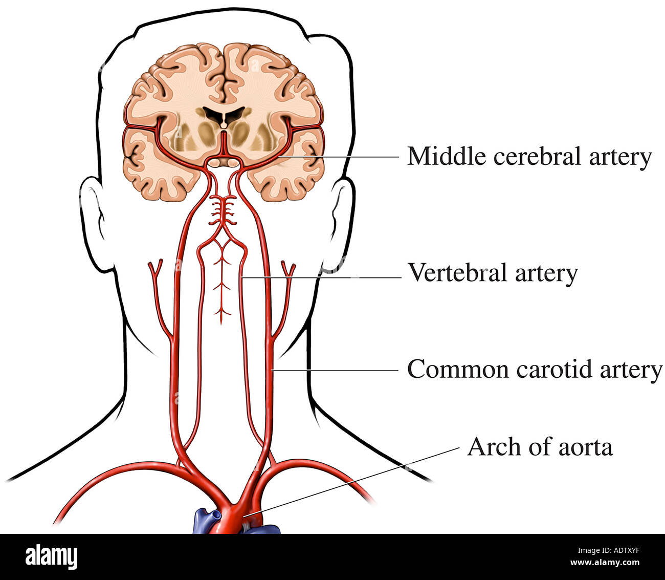 Perfecto Suministro De Sangre Anatomía Humana Al Cerebro Colección ...