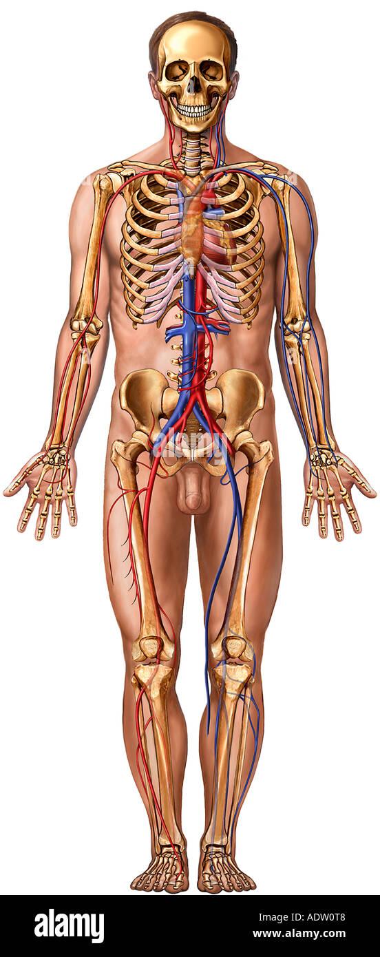 Figura masculina con sistemas corporales: vista anterior Foto ...