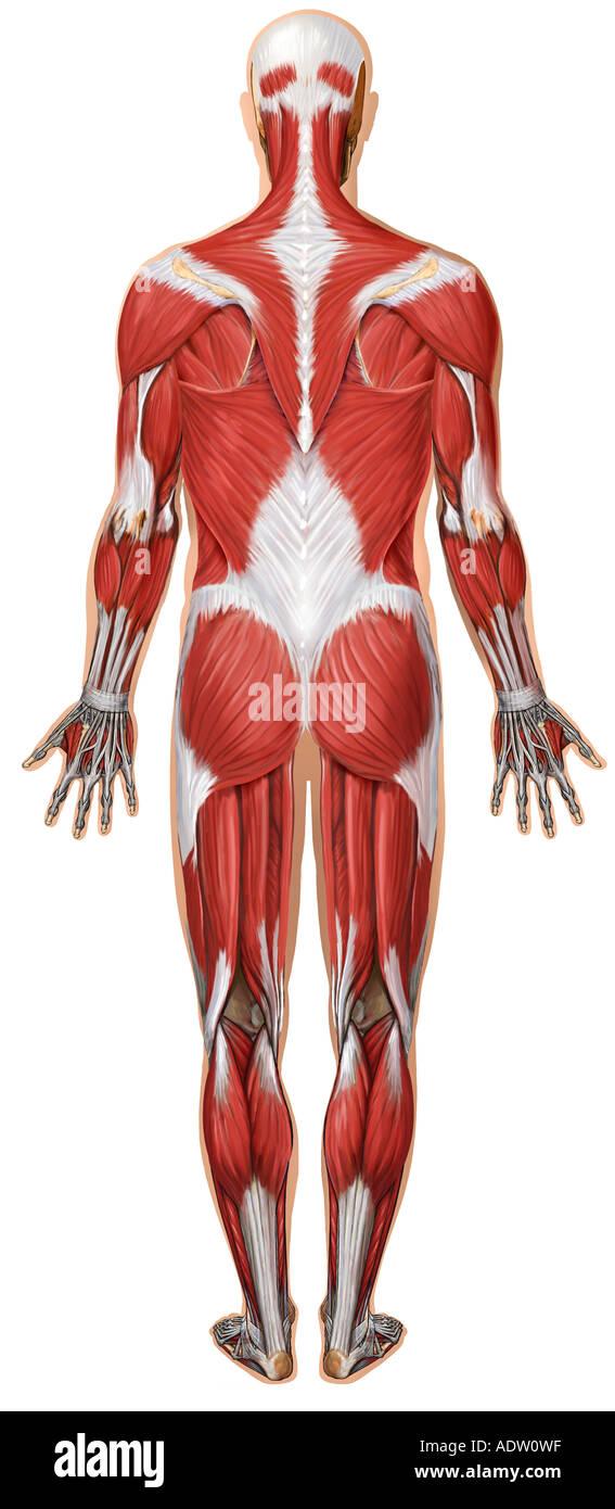 Anatomía del sistema muscular: Vista posterior Foto & Imagen De ...