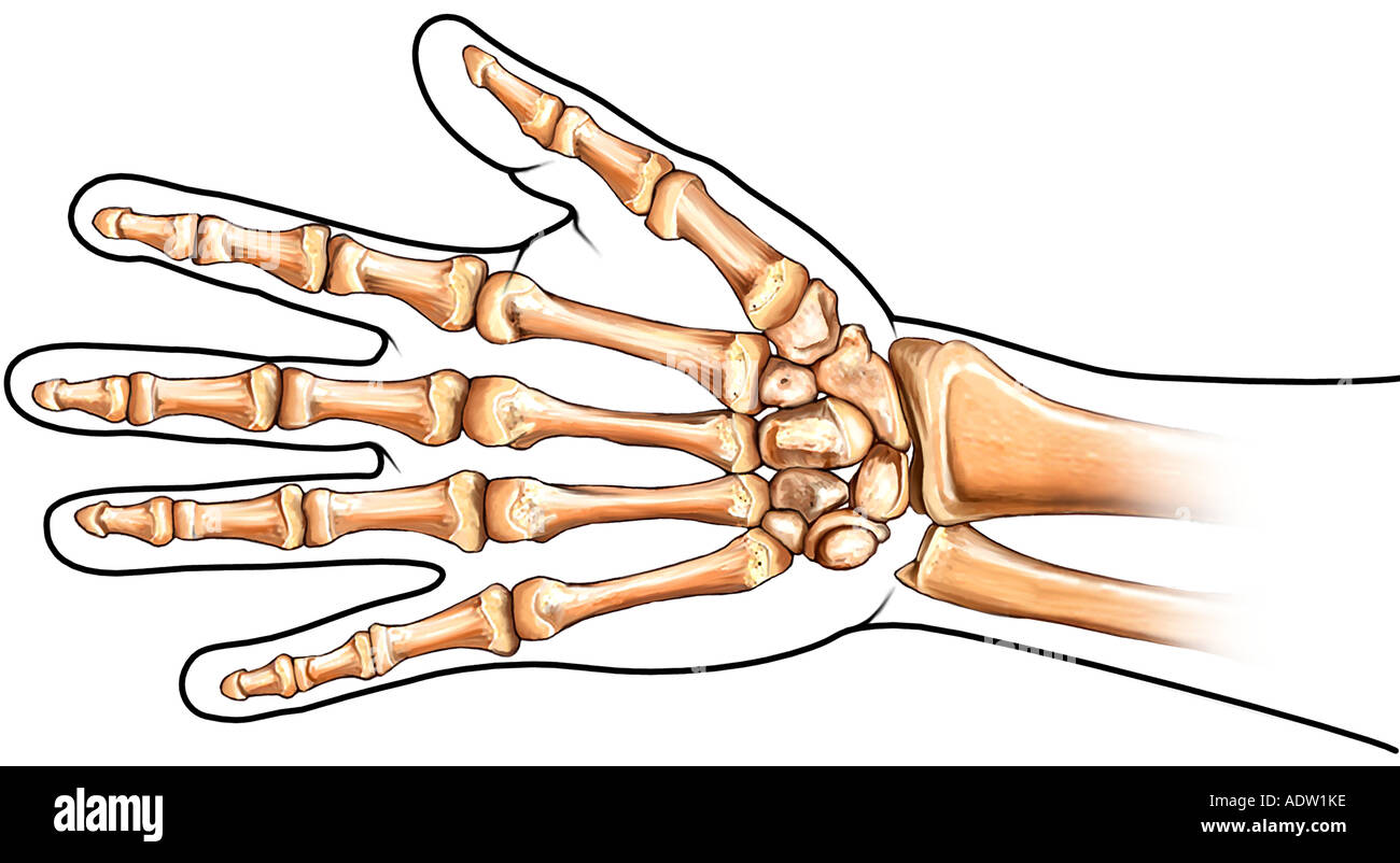 Los huesos de la mano - Vista Palmar Foto & Imagen De Stock: 7711229 ...