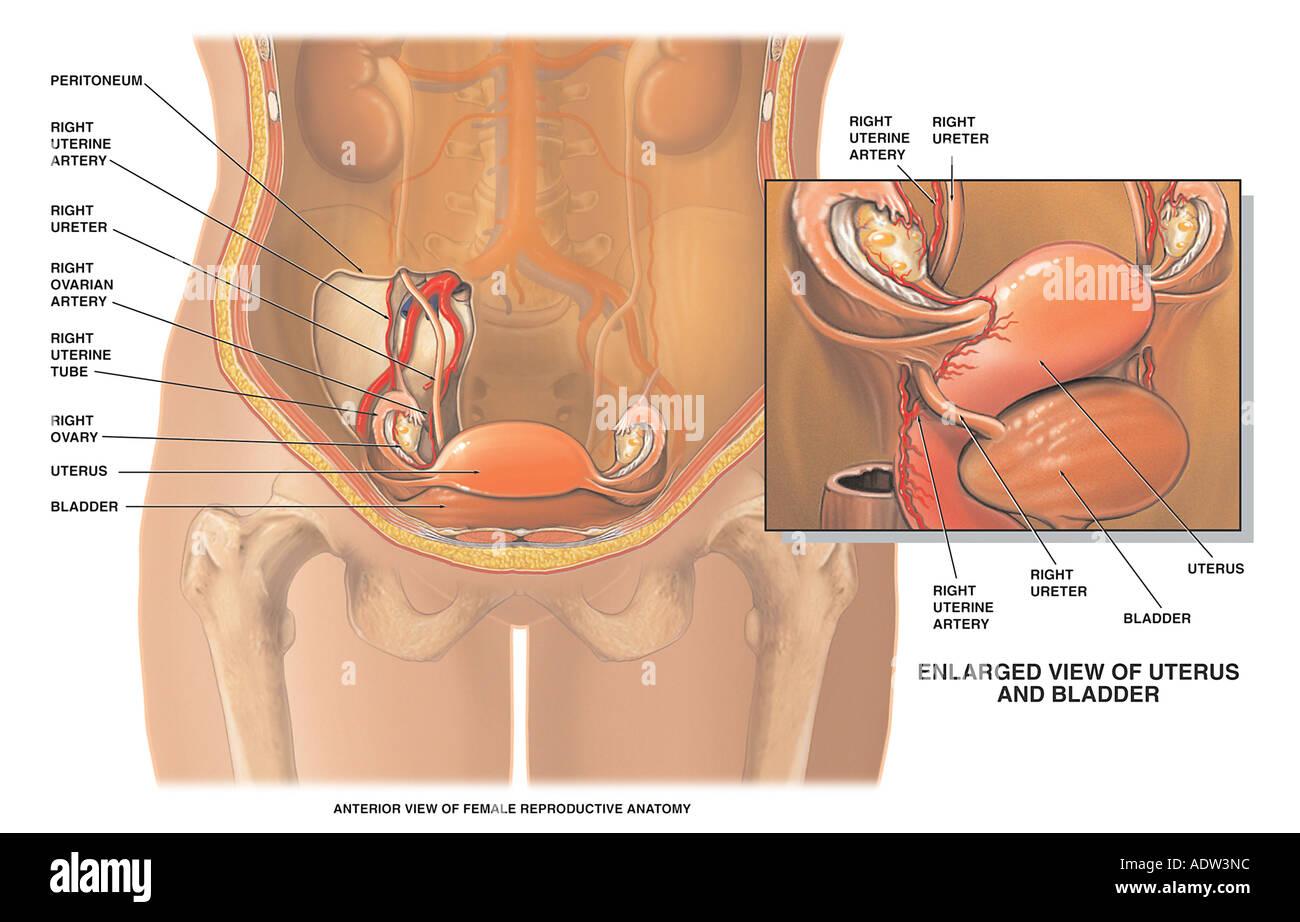 La vasculatura de los órganos reproductivos femeninos Foto & Imagen ...