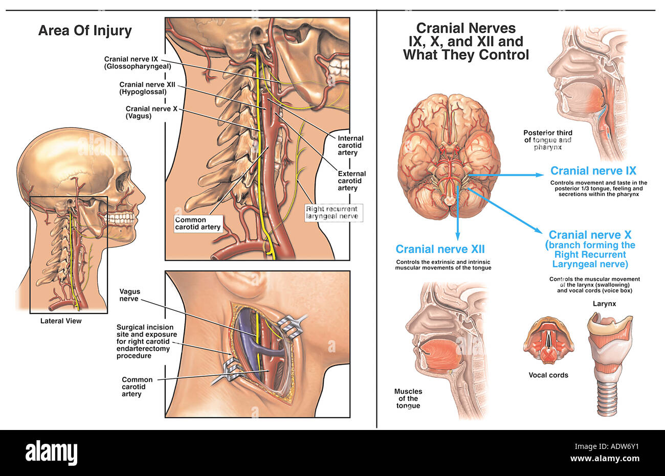 Cranial Nerve Imágenes De Stock & Cranial Nerve Fotos De Stock - Alamy