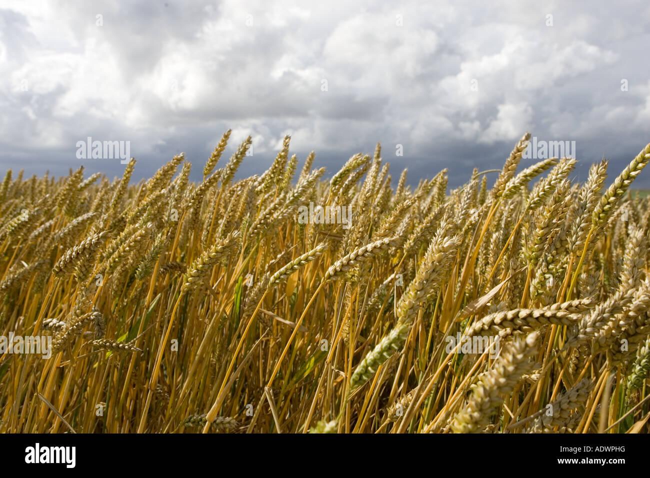 Campo de trigo en Marlborough Downs, Wiltshire, Inglaterra, Reino Unido Imagen De Stock