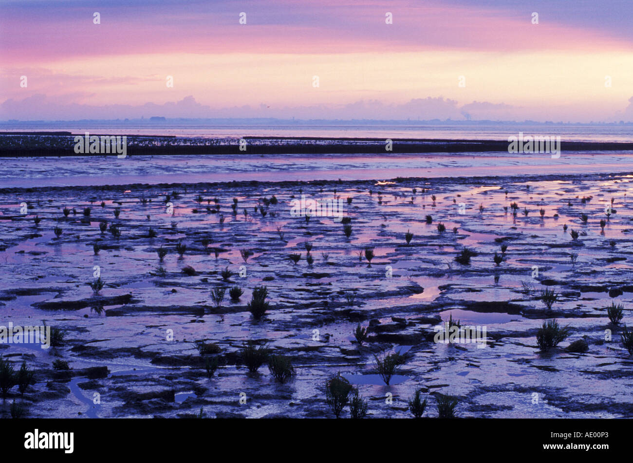 Mit Queller Schlickwatt erodiert Abendstimmung Jadebusen NP Wattenmeer Imagen De Stock