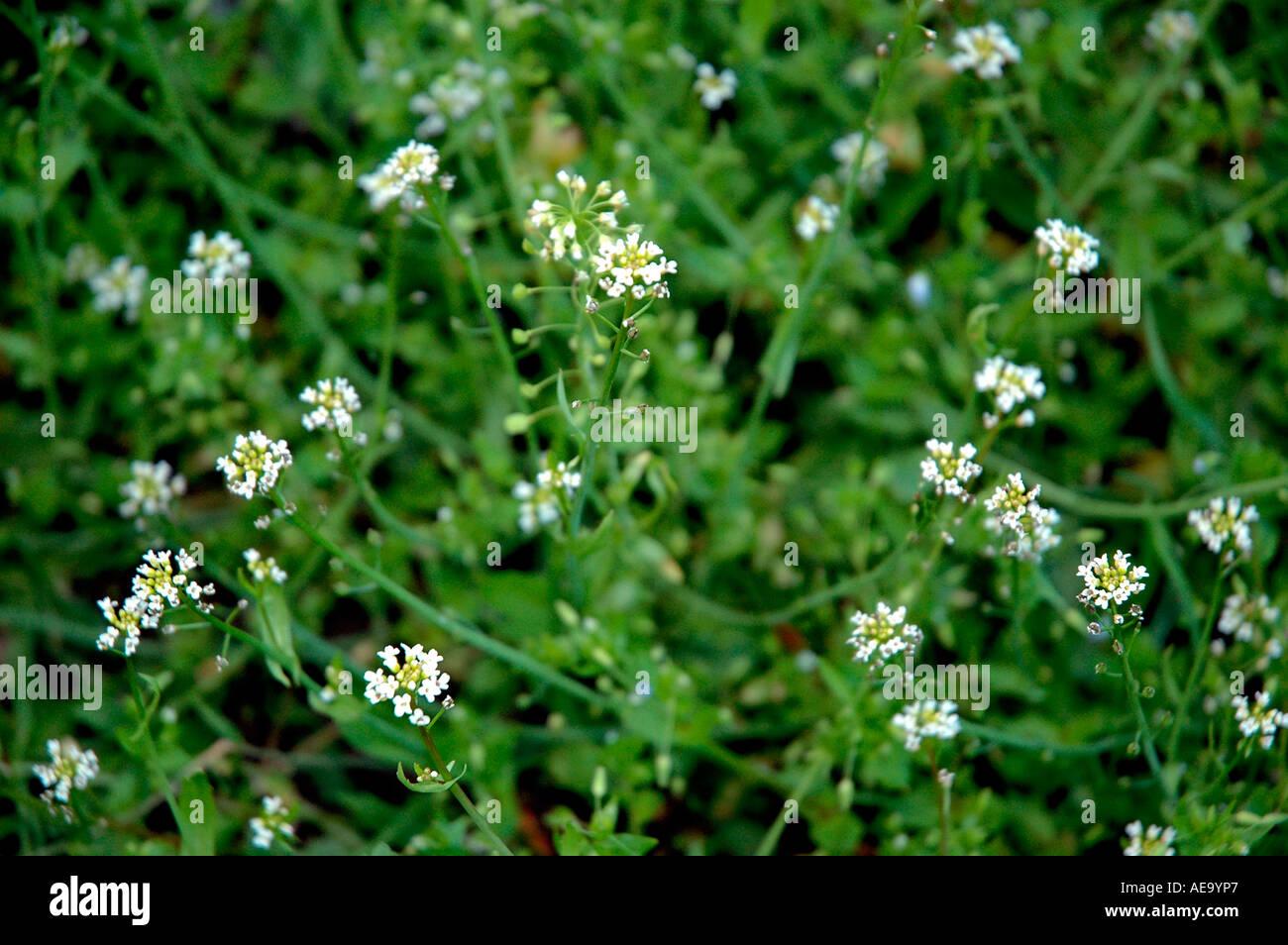 Blancas Pequenas Flores Silvestres De Serbia Y Montenegro Foto