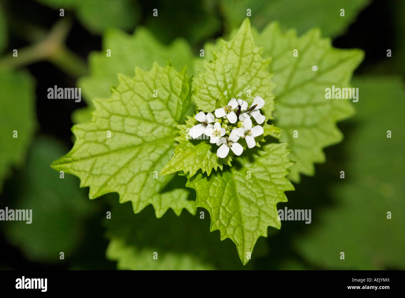 Alliaria petiolata ajo, Mostaza Foto de stock
