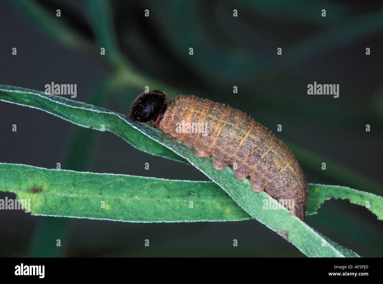 Drusius Cloudywing Caterpillar Foto de stock