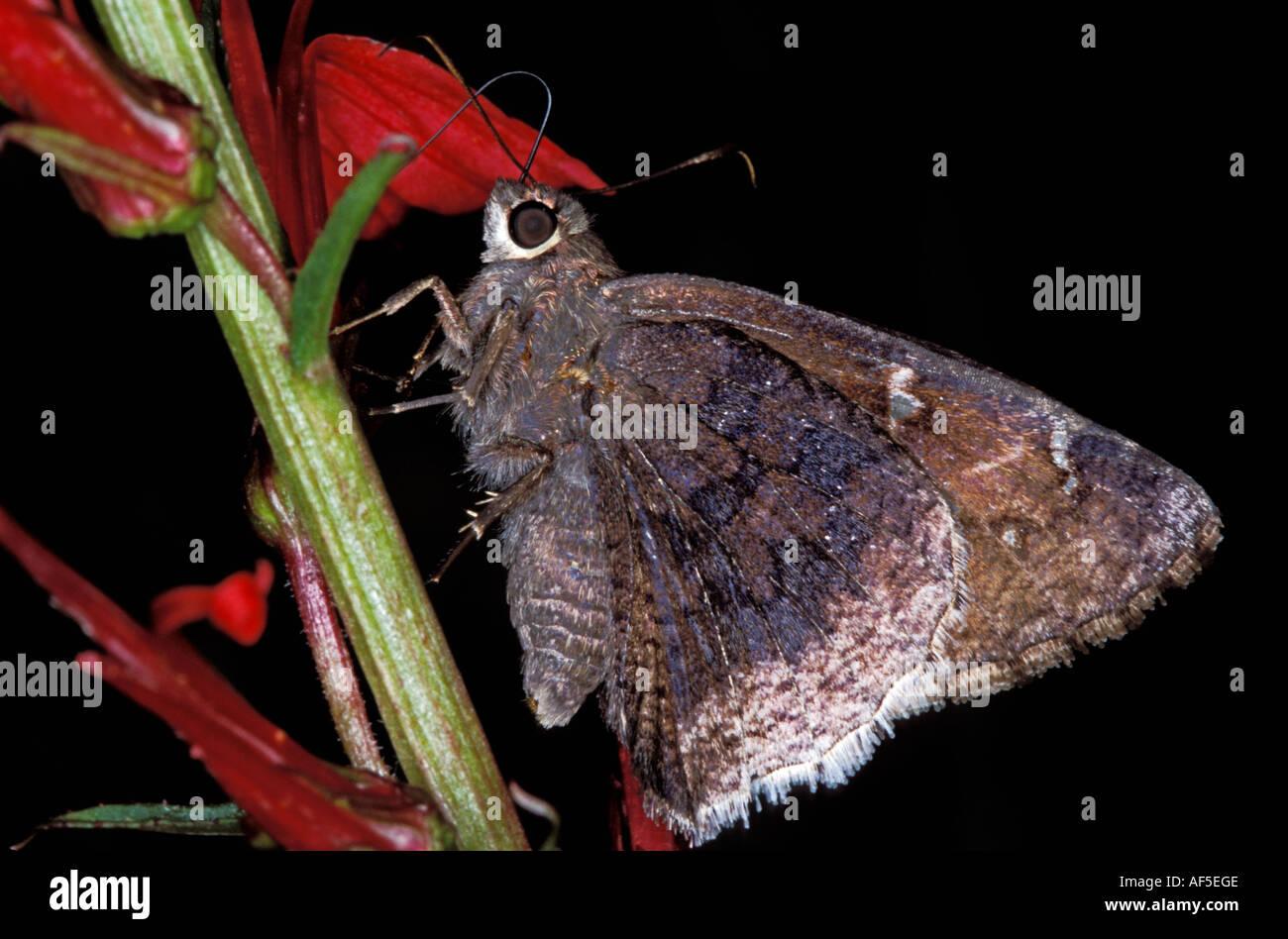Desierto Cloudywing Achalarus casica Jardín Canyon Ft Huachuca Hesperiidae Pyrginae Arizona el 15 de agosto Foto de stock