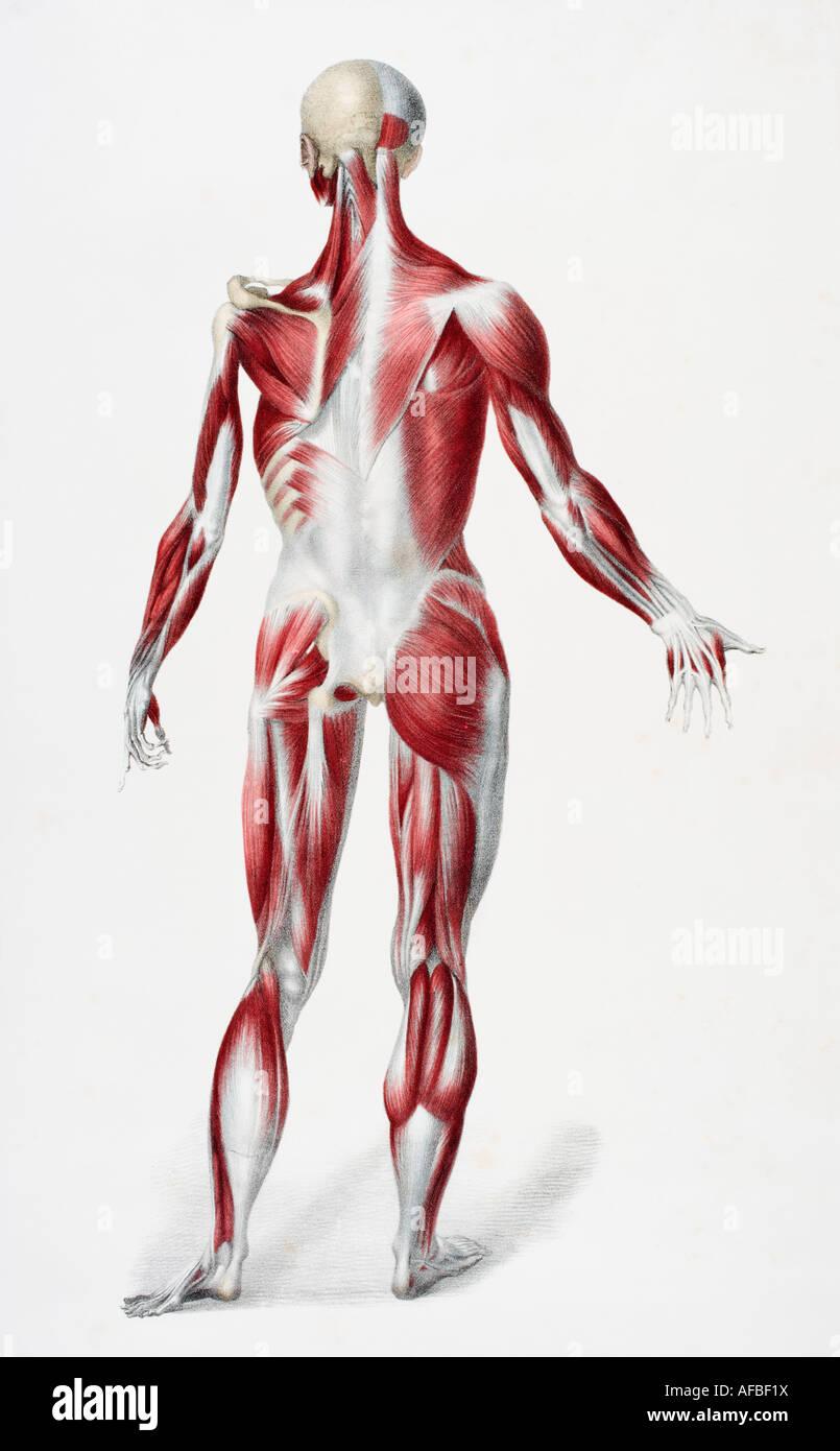 Parte posterior del cuerpo humano masculino mostrando músculos ...