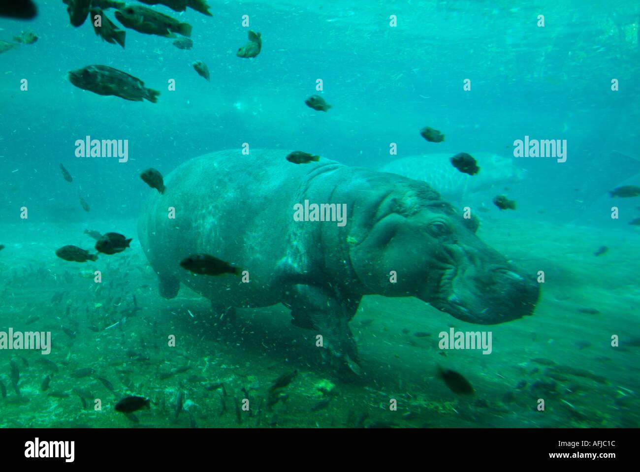 Hippo cautivo natación subacuática Imagen De Stock