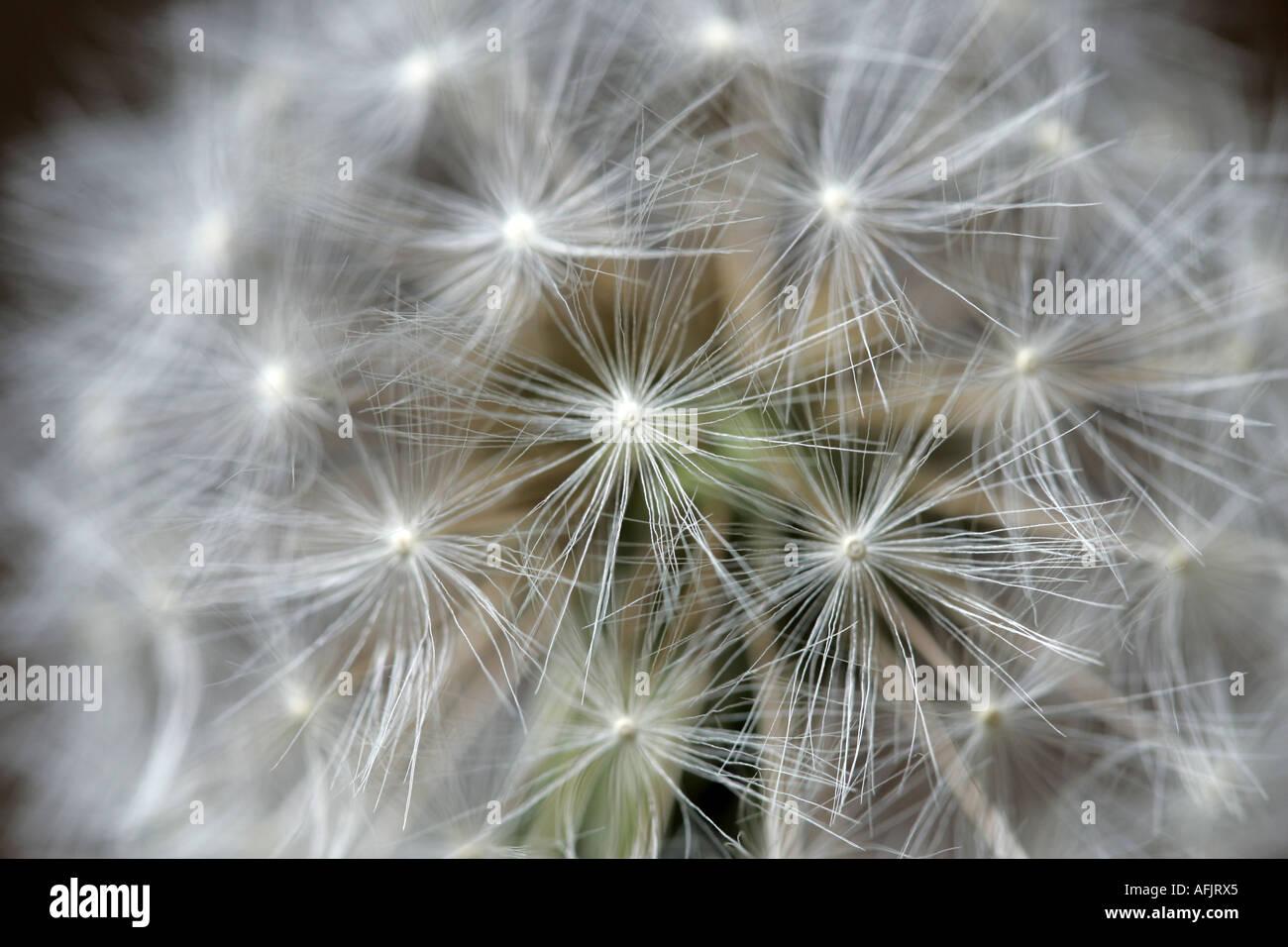 Reloj cabeza de diente de león Taraxacum officinale flor en el jardín N o la familia Compositae Imagen De Stock