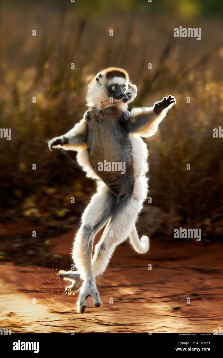 Madre y bebé Berenty Verreaux's sifaka Madagascar Imagen De Stock