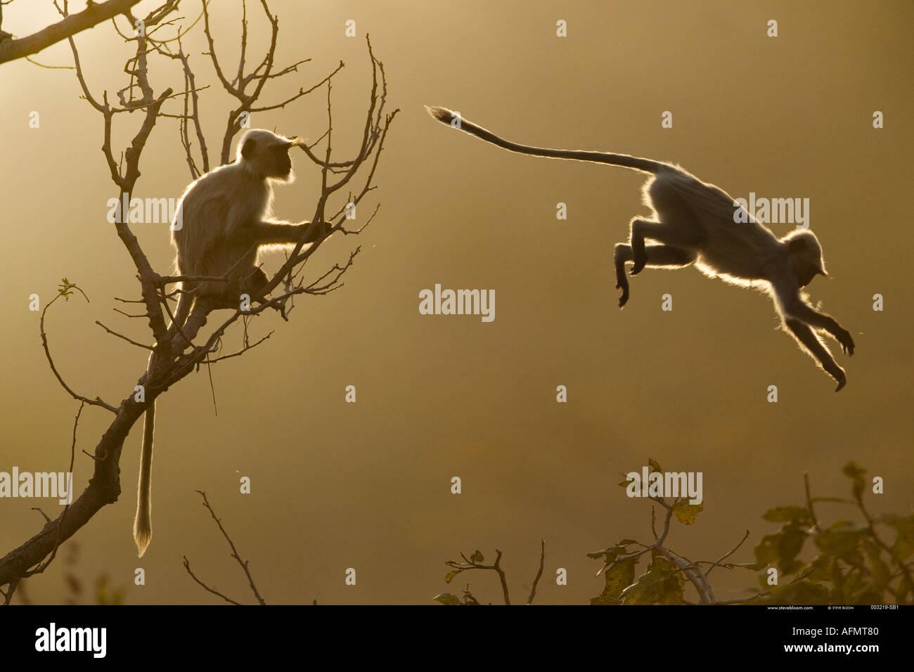 Hanuman Langur saltando a través de las copas de los árboles en Bandhavgarh India Imagen De Stock