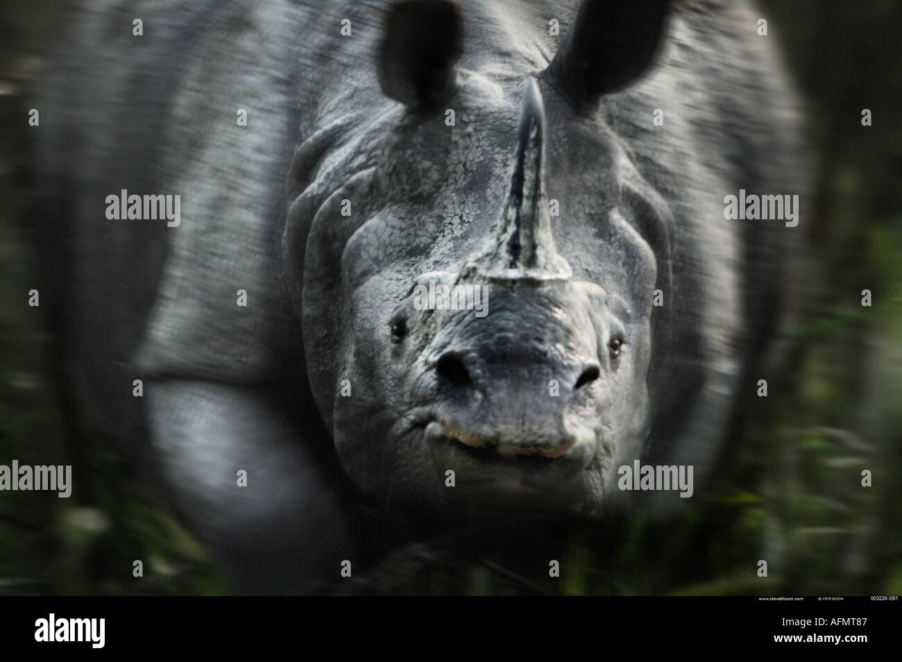 Carga de rinoceronte indio Kaziranga India Imagen De Stock
