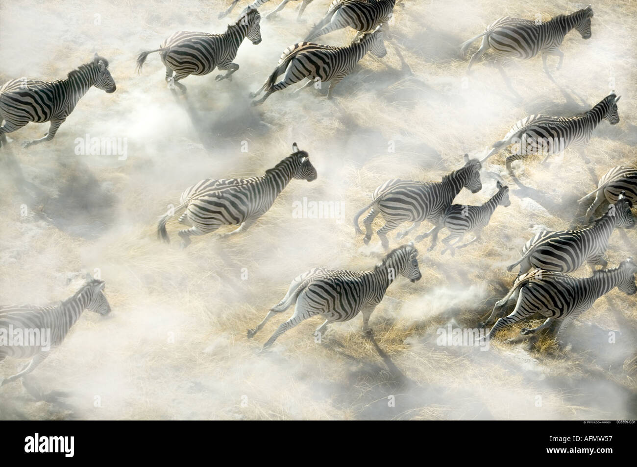 Vista aérea de la manada de cebra ejecutando Delta del Okavango Botswana Imagen De Stock