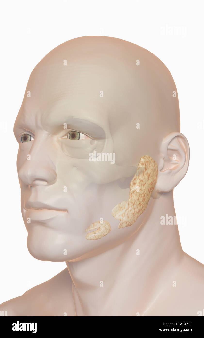 Las glándulas salivales Foto & Imagen De Stock: 14032835 - Alamy