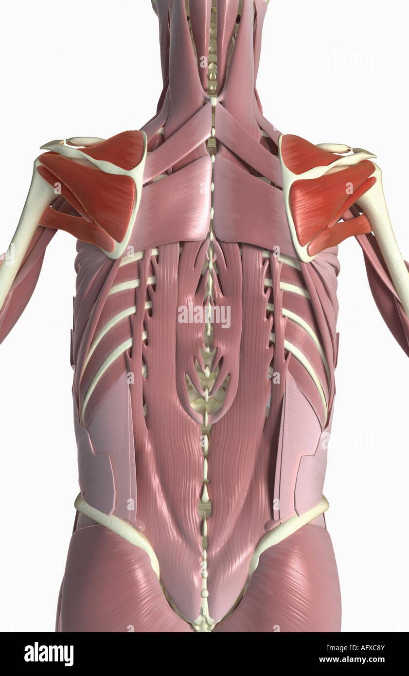 Hermosa Rotador Anatomía Del Manguito Elaboración - Imágenes de ...