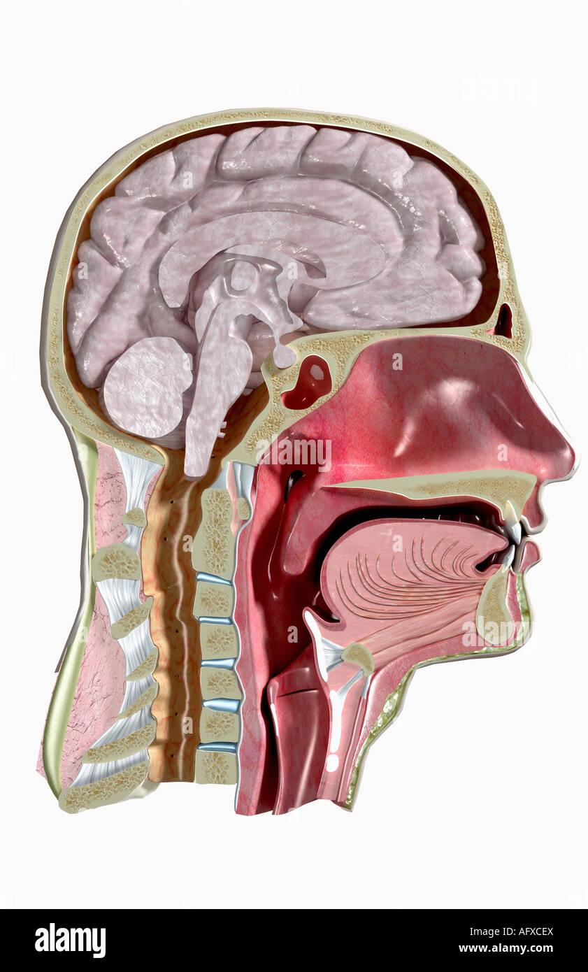 Anatomía seccional de la cabeza y cuello Foto & Imagen De Stock ...
