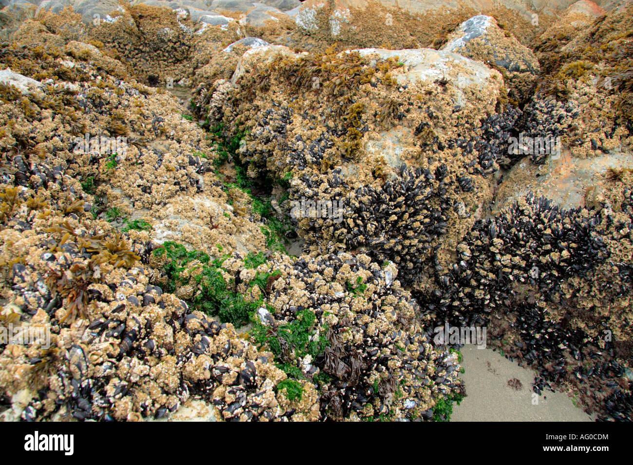 Percebes, ostras y algas en las rocas con marea baja. Foto de stock
