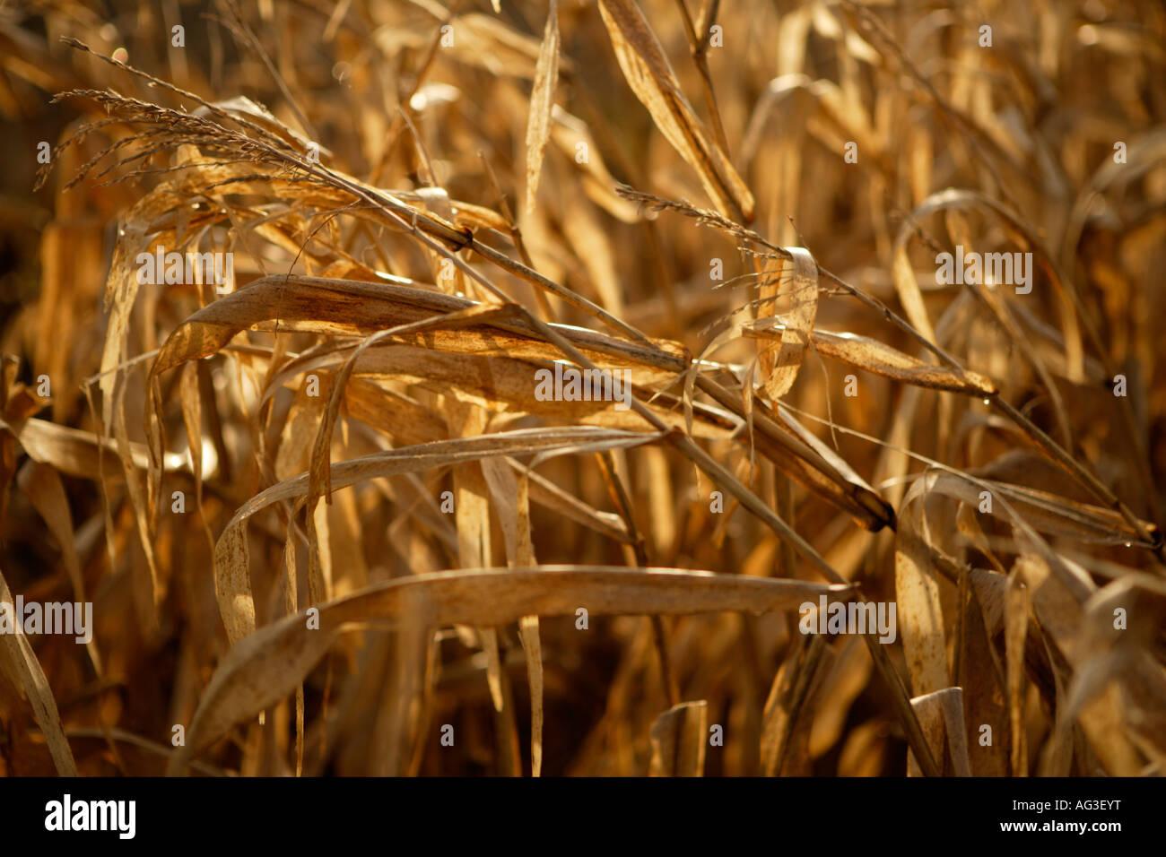 Cerca de las plantas de maíz seca/secos Foto de stock