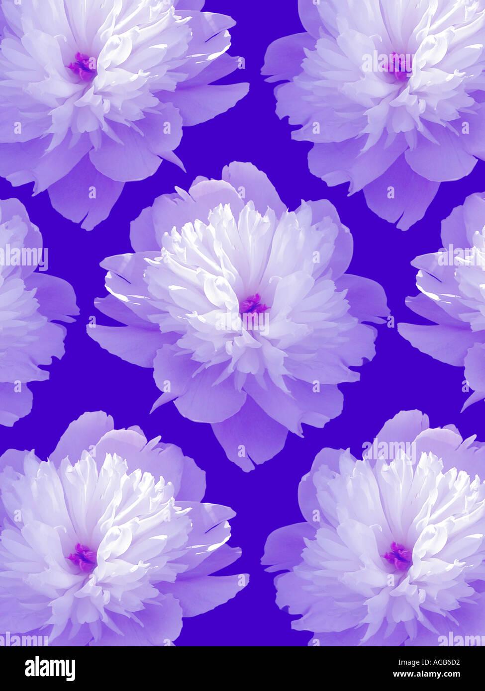 Un patrón de peonías sobre un fondo azul. Imagen De Stock