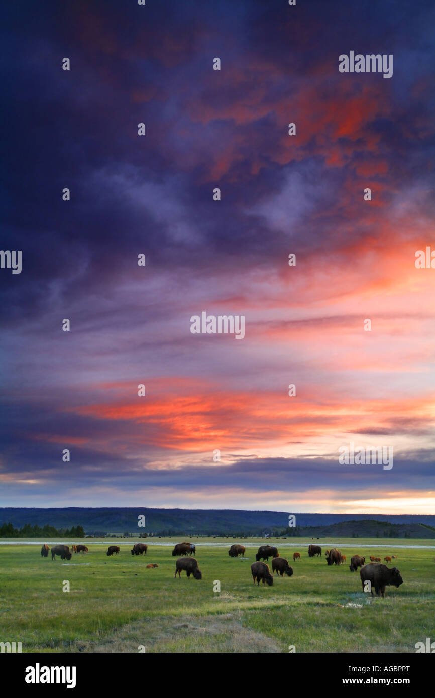 Buffalo en Sunset Midway Geyser Basin del Parque Nacional Yellowstone, Wyoming Imagen De Stock