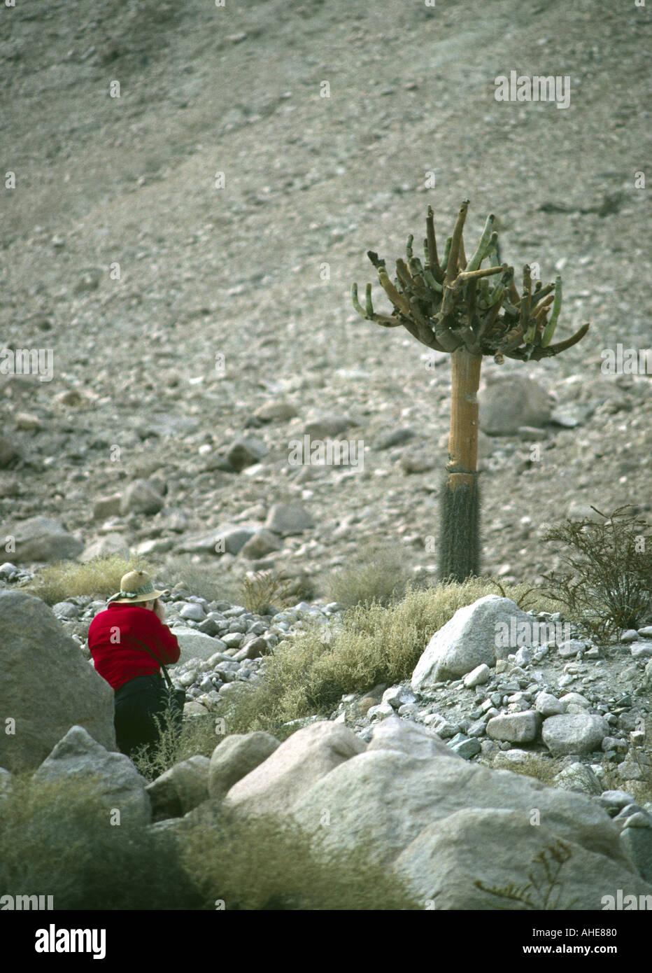 Chile Parque Lauca cactus candelabro sobre laderas andinas occidentales en seco Imagen De Stock