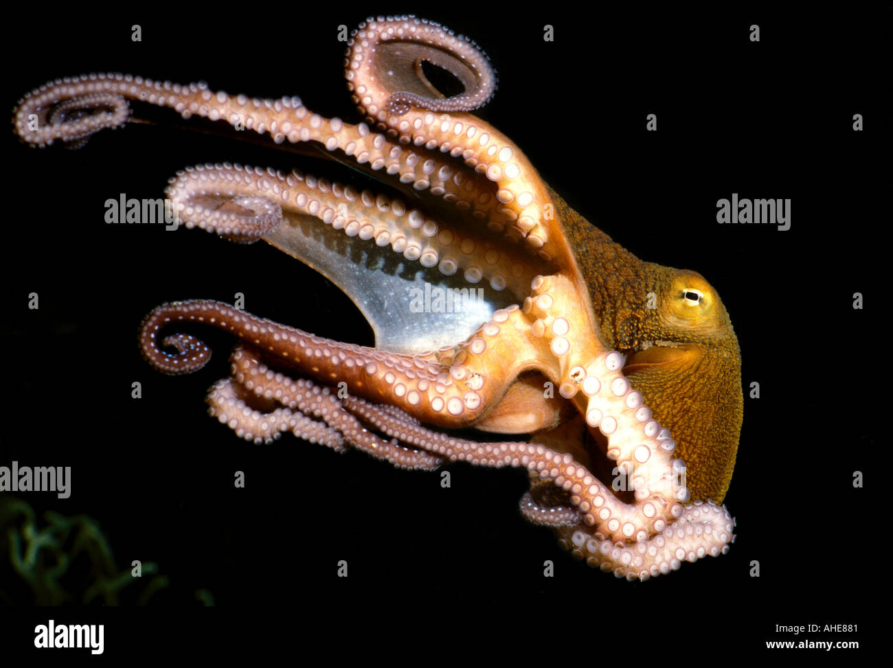 Pulpo nadar ocho tentáculos con ventosas visible Imagen De Stock