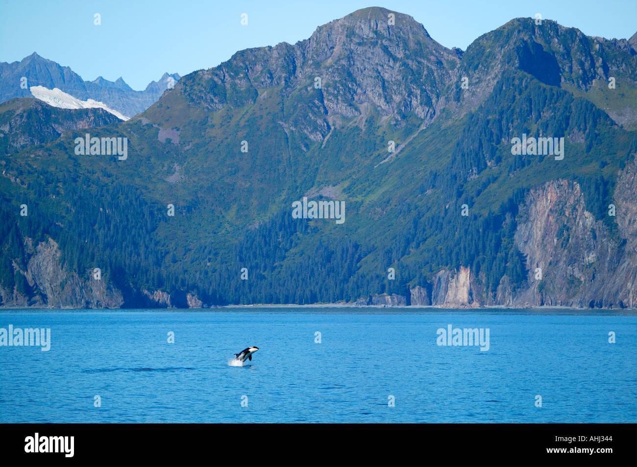 Un Ocra pantalon de ballenas a lo largo de la costa del Parque Nacional de los fiordos de Kenai Resurrección Bay Alaska Foto de stock