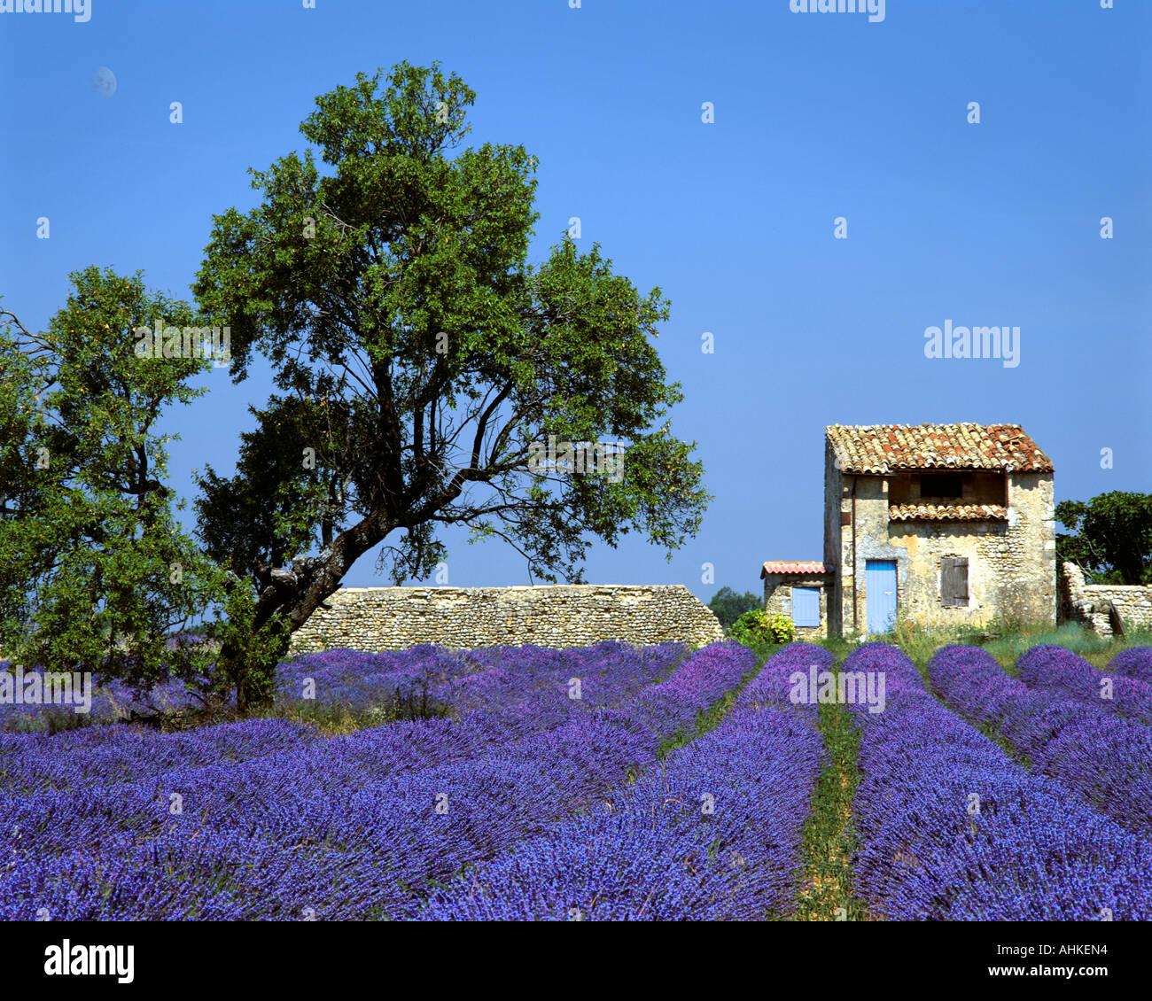 FR - Alpes-de-HAUTE-Provence: Campo de lavanda en la meseta de Valensole cerca Puimoisson Imagen De Stock