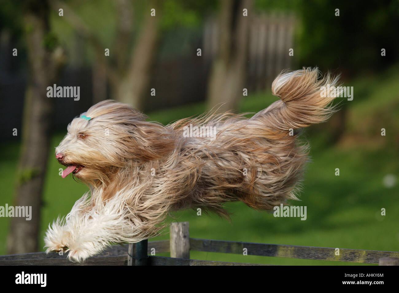 Collie barbudo - saltar Foto de stock