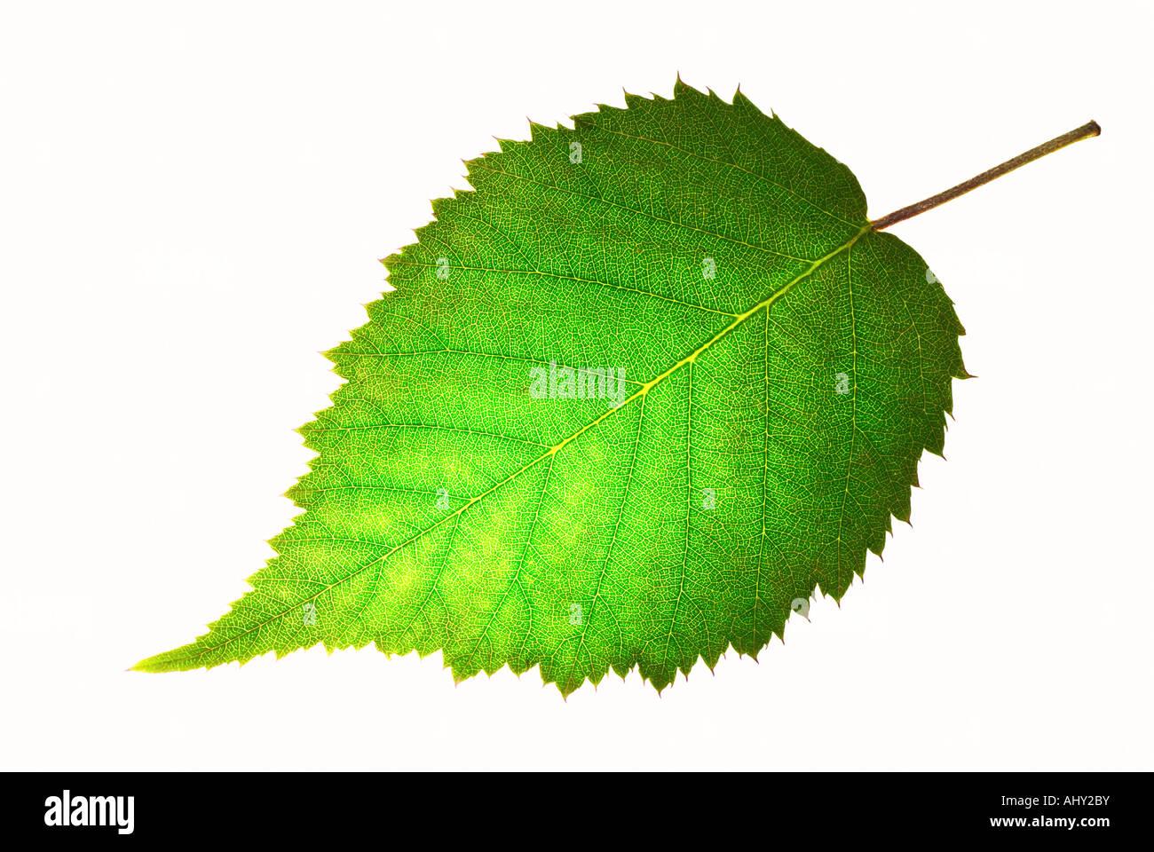 Hoja verde fresco Foto de stock
