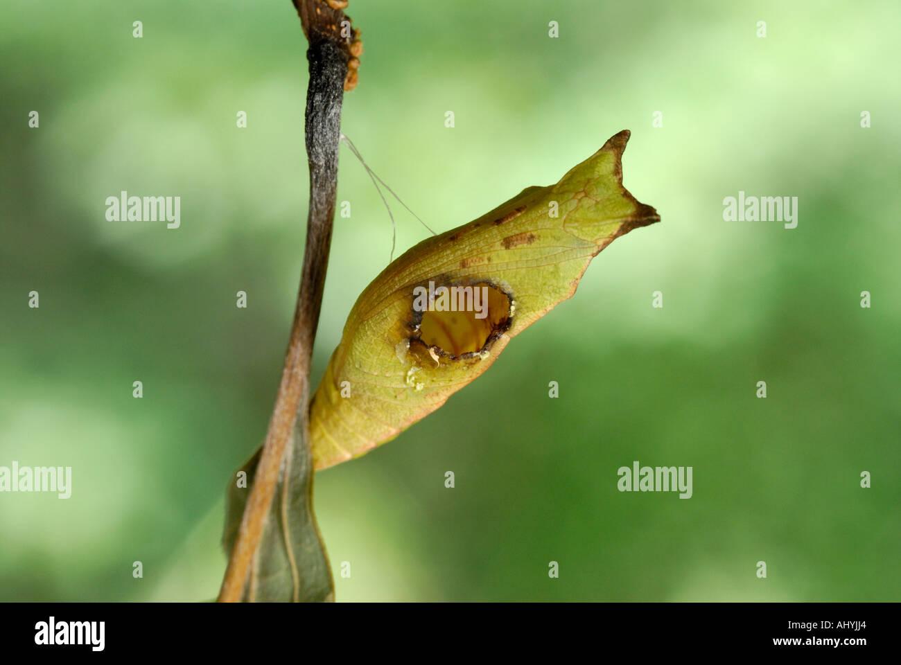 Ichneumonid avispa parasitoide, salir del agujero en el chrysalis spicebush de una especie. Consulte la descripción Foto de stock