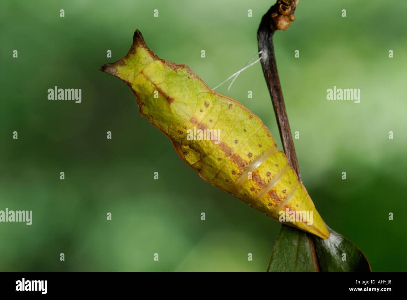 Especie Spicebush, Papilio Troilo, chrysalis pupa Foto de stock