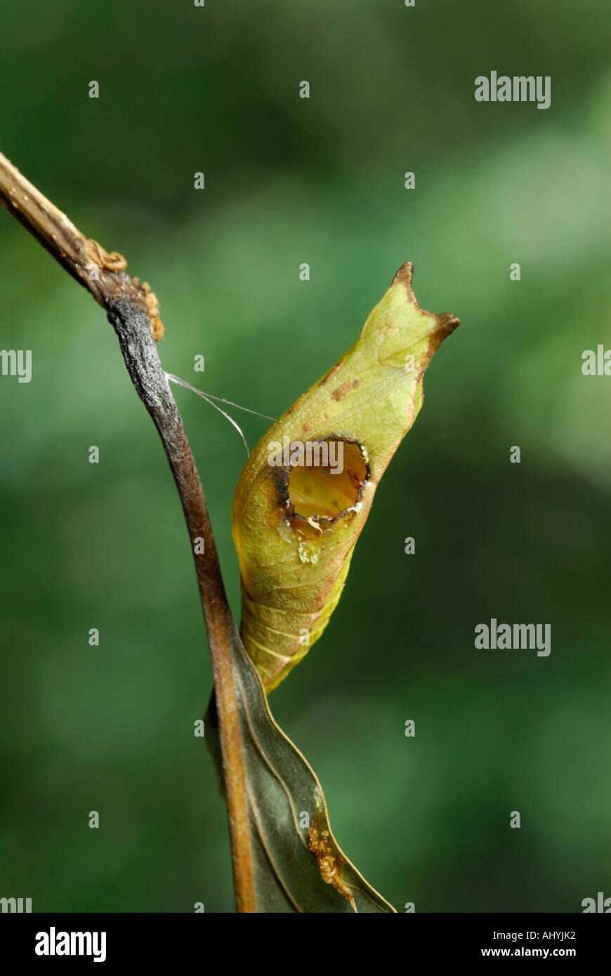 Avispa parasitoide, Ichneumonid salir de agujero en su host, una crisálida de una especie spicebush. Consulte la Foto de stock