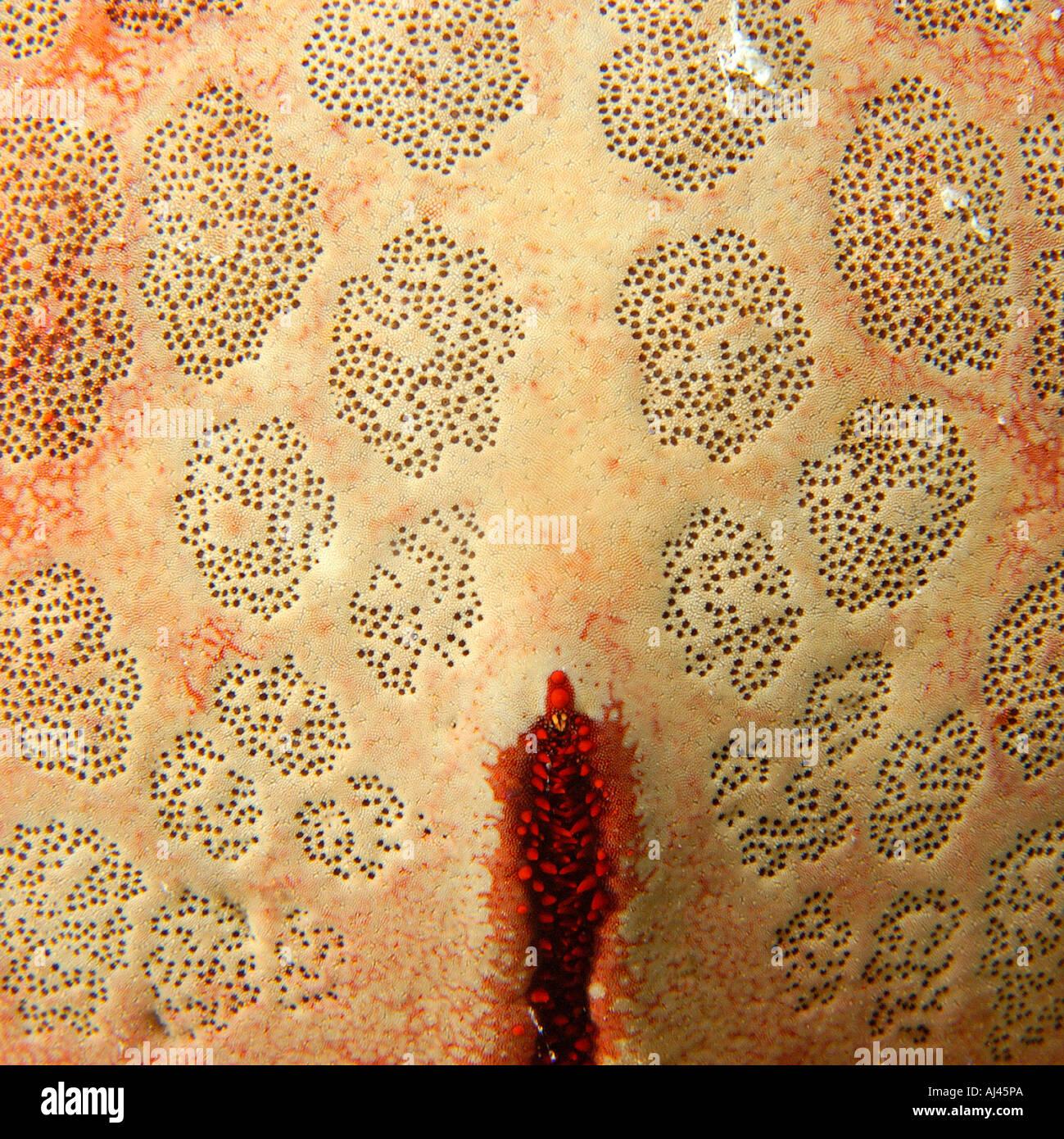 Culcita novaguineae estrella cojín de la textura de la piel Ailuk atolón del Pacífico Islas Marshall Imagen De Stock