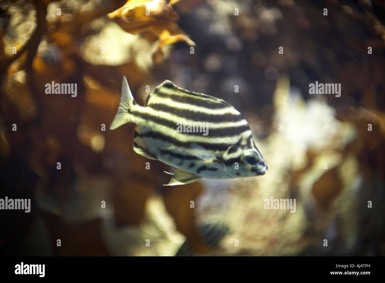 Stripey Microcanthus strigatus peces en el Acuario de Sydney Darling Harbour, Nueva Gales del Sur (NSW, Australia Imagen De Stock