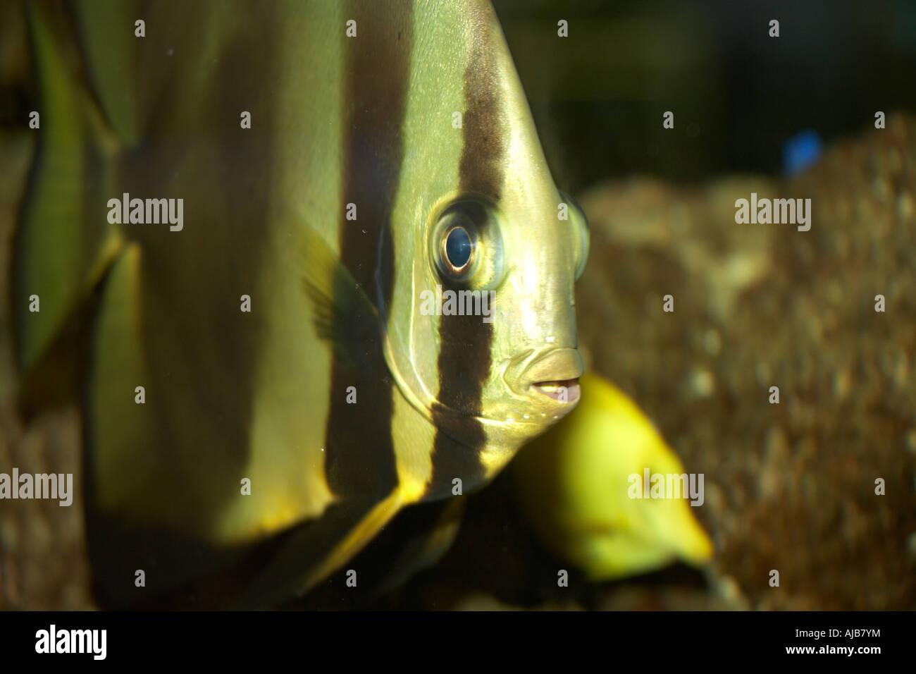 Stripey rayas peces tropicales en el acuario en el aeropuerto Schiphol de Ámsterdam Imagen De Stock