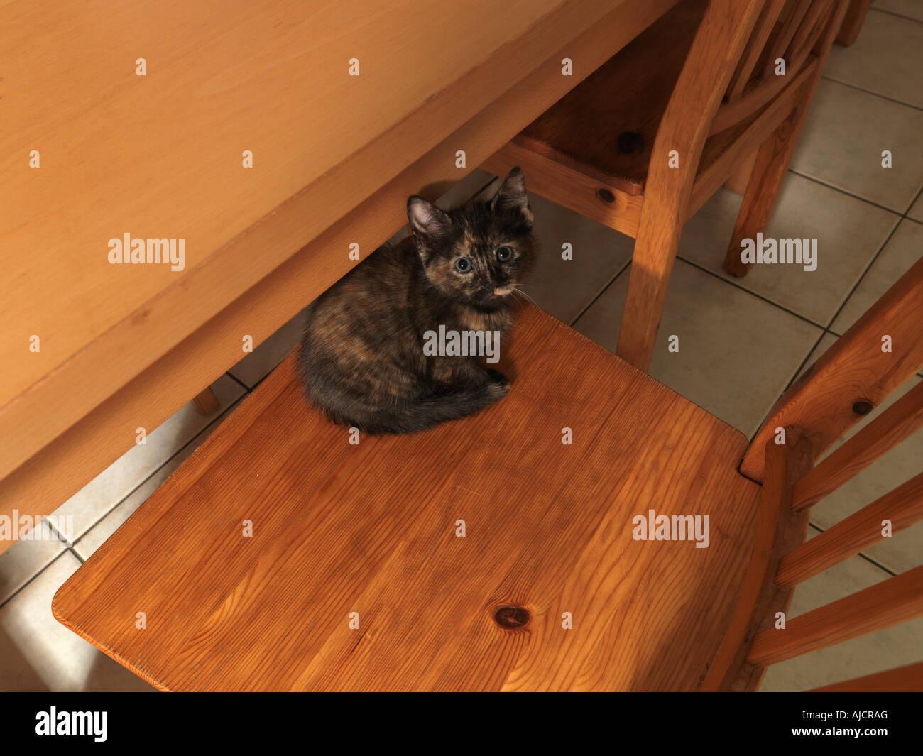 Tortoiseshell pequeño gatito en la cocina Foto de stock